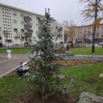 Ezüstfenyő a Petőfi téren